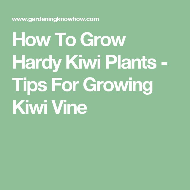 How To Grow Hardy Kiwi Plants - Tips For Growing Kiwi Vine