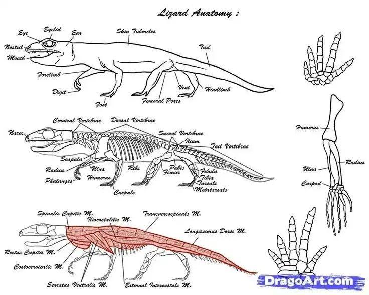 Image Result For Lizard Anatomy Anatomy Reference Lizard Anatomy