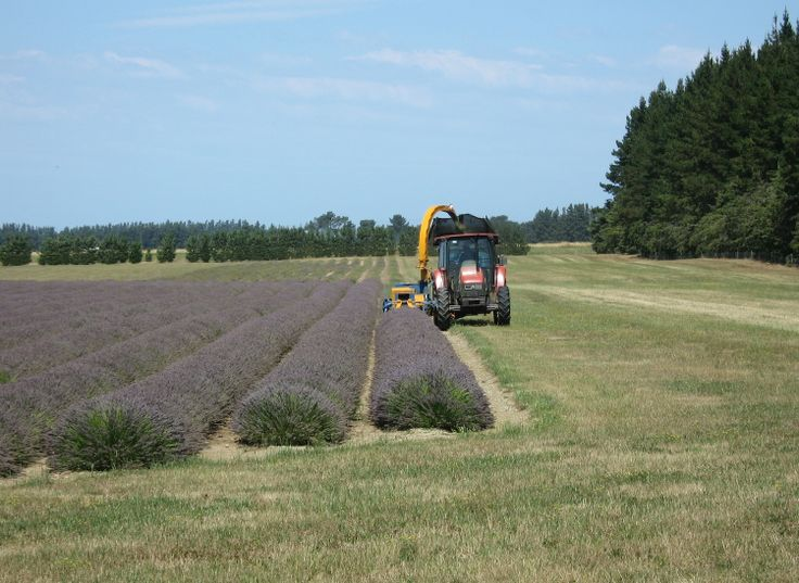 Harvesting the first row of lavender - 4