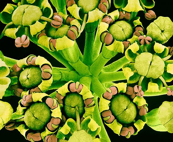 flower micrographs: fennel (Foeniculum vulgare) flowers