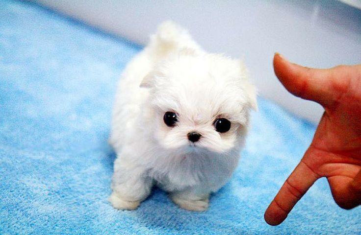 Teacup Puppies for Sale, Teacup Maltese, Teacup Yorkie,teacup ...