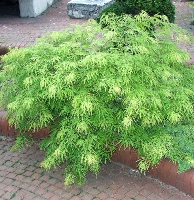 Japanse Esdoorn 'Dissectum' (Acer palmatum 'Dissectum') | MijnTuin.org