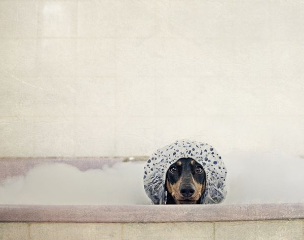 Doxie bath time by pet photographer Serenah. I like her quirky style :)