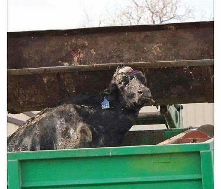 We do what we do, for the animals. This is a live cow, after a life of hell he did not ask to be brought into, sitting in a garbage dumpster at a slaughterhouse.  He could've been saved, lived, allowed to live out his days in peace as all animals deserve. Instead they shot him and tossed him out same as trash. Animals feel love, fear, desire, please stop eating them. When you eat them, you are actually the one doing this very deed to them, And millions of cows die just her.  Dairy Lies