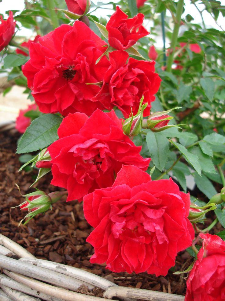 'Lady in red'™ Liten marktäckande ros. Passar även utmärkt som hängande ros eller att plantera runt stammar. 40-60 cm hög. Mediumfyllda blommor med lätt doft. Blommar från sommar till sen höst.