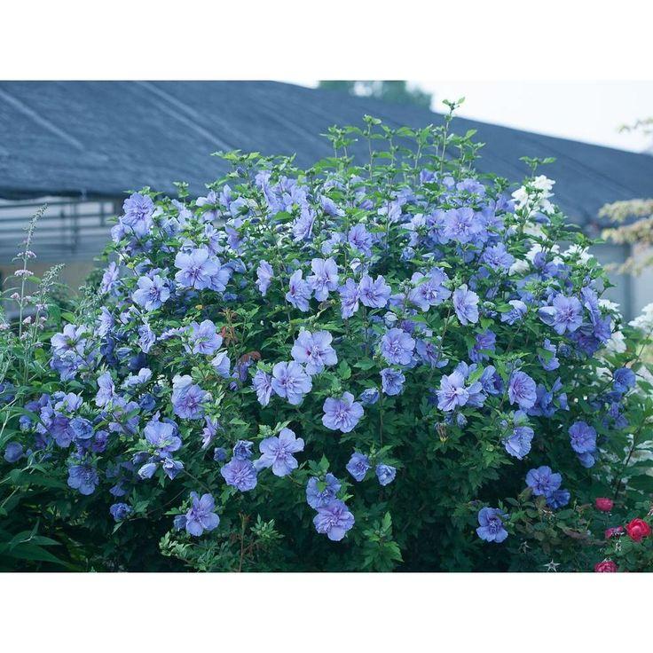 Blue Chiffon Rose Of Sharon Hibiscus Live Shrub Blue Flowers 3 Gal Plants Garden Shrubs Flowering Shrubs