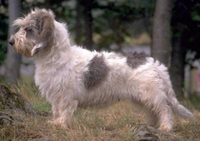 For momVendeen Photos, Basset Griffon, Favorite Things, Dogs Breeds, Breeds A Z, Vetarena Community, Griffon Vendeen, Petite Basset, French Dogs