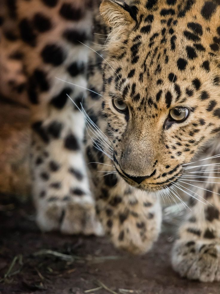 "Female Amur Leopard ""Satka"" (Panthera pardus orientalis) at the San Diego Zoo. (photo by Craig Chaddock)"