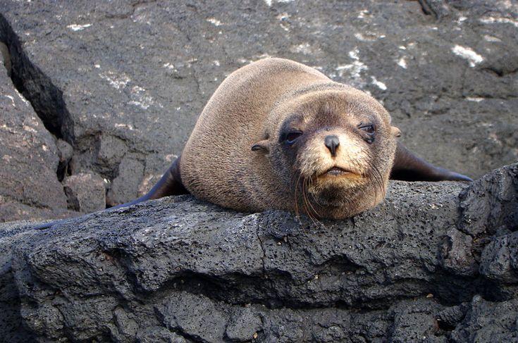 O lobo-marinho-de-galápagos (Arctocephalus galapagoensis) pode ser reconhecido pelos seus grandes olhos, uma adaptação para caçar peixes e lulas à noite. Assim evita predadores e não compete com o leão-marinho por alimento. Encontrado exclusivamente no arquipélago, sofre com a elevação da temperatura, evento associado ao El Niño, que causa o declínio da produtividade nos mares de Galápagos e, consequentemente, diminuição do alimento para os lobos-marinhos. Doenças transmitidas por animais…