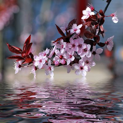 Cherry blossoms reflected in the river - Decorative cherry tree blossoms above water with reflection digital effect