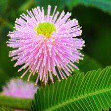 Semillas en macetas semillas de bonsai de semilla envío gratis 20 Mimosa semillas de árboles, flores y plantas de interior recién llegado de bricolaje Home jardín flor planta C007(China (Mainland))
