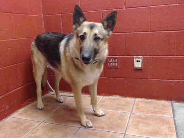 German Shepherd Dog Dog For Adoption In Downey Ca Adn 818274 On