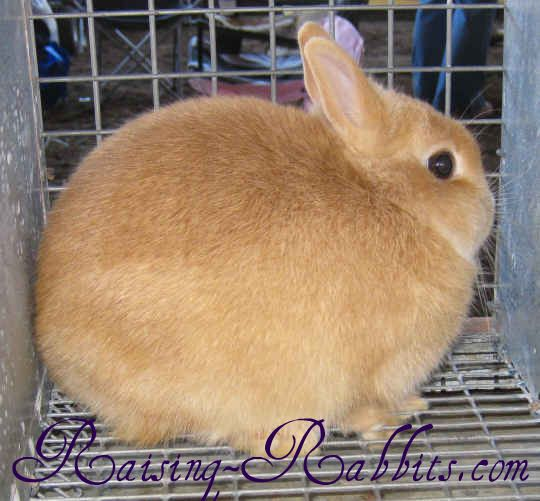 Netherland Dwarf 371 Senior Weight: Not over 2 ½ poundsType: CompactColor: Agouti, self, shaded, tan pattern, any other varietiesDistinctive: Tiny round size, short ears, many color varietiesNational Club: American Netherland Dwarf Rabbit Club - See more at: http://www.raising-rabbits.com/all-rabbit-breeds.html#sthash.tn26tmiV.dpuf
