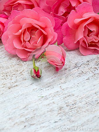 Curly pink roses and buds on the white painted rustic background