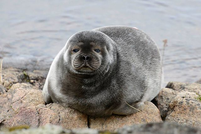 Sea Shepherd is sailing to the rescue of the lake-dwelling Saimaa ringed seal.