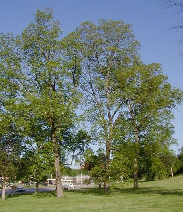 Carya illinoinensis - Pecan