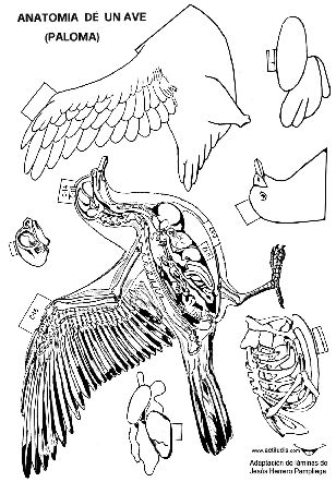 Recorta les anatomía vertebrados