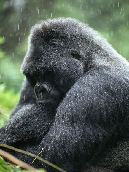 [Protected Status: ENDANGERED] There are roughly 700 mountain gorillas remaining on Earth; nearly half live in the forests of the Virunga mountains in central Africa. Many conservation initiatives are meant to aid mountain gorillas, and it is believed that their numbers may be steady or slowly increasing. Still they continue to face major threats from habitat loss and poaching.