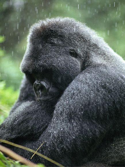Habitat loss of mountain gorillas