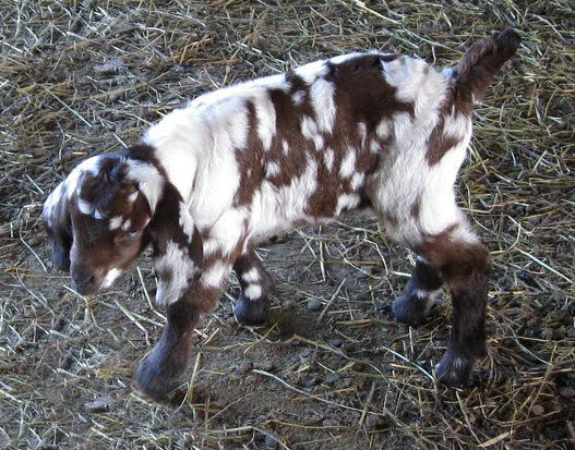 Spotted Boer Goats and Dappled Boer Goats