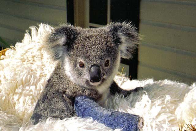 koala hospital- Port Macquarie