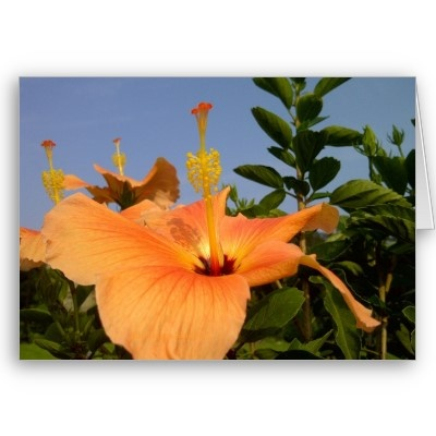 Greeting cards...Pretty Orange with yellow Hibiscus flower (c)Khoncepts ...$3.35
