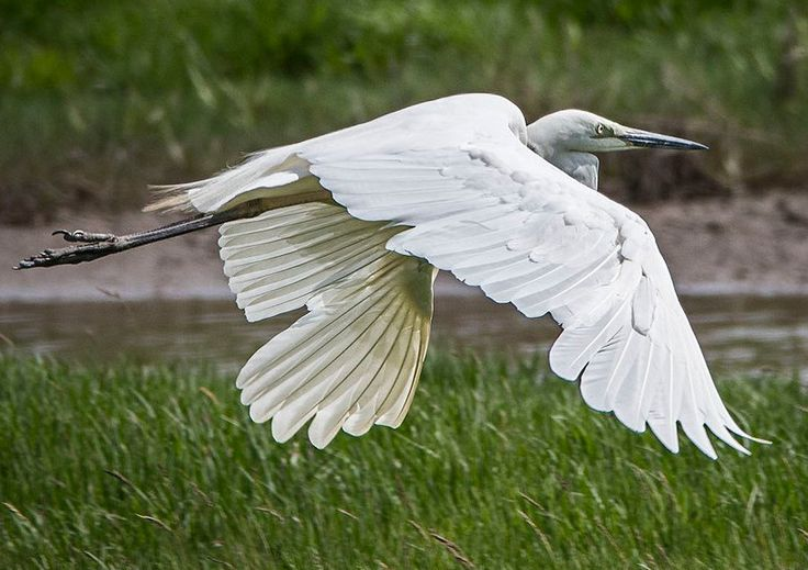 Great White Egret at Connah's Quay, UK ~ Wildlife Photography