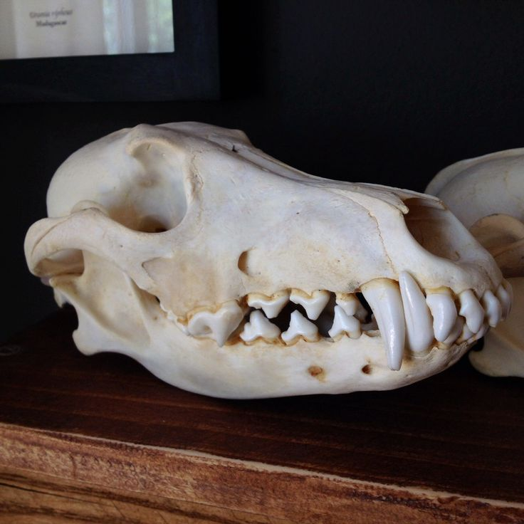 Real coyote skull. If you would like a photo of the exact skull you will be receiving, feel free to email us after placing your order and we will be happy to assist you. We always try to select the be