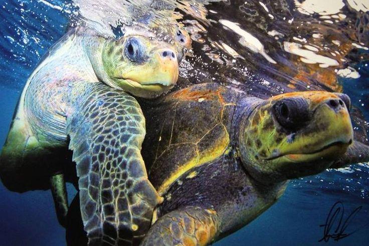 Aaron Goulding Photography 1973 Prospect st. La Jolla Ca 92037 #turtles #hawaii #ocean #animallovers AAron Goulding Photography