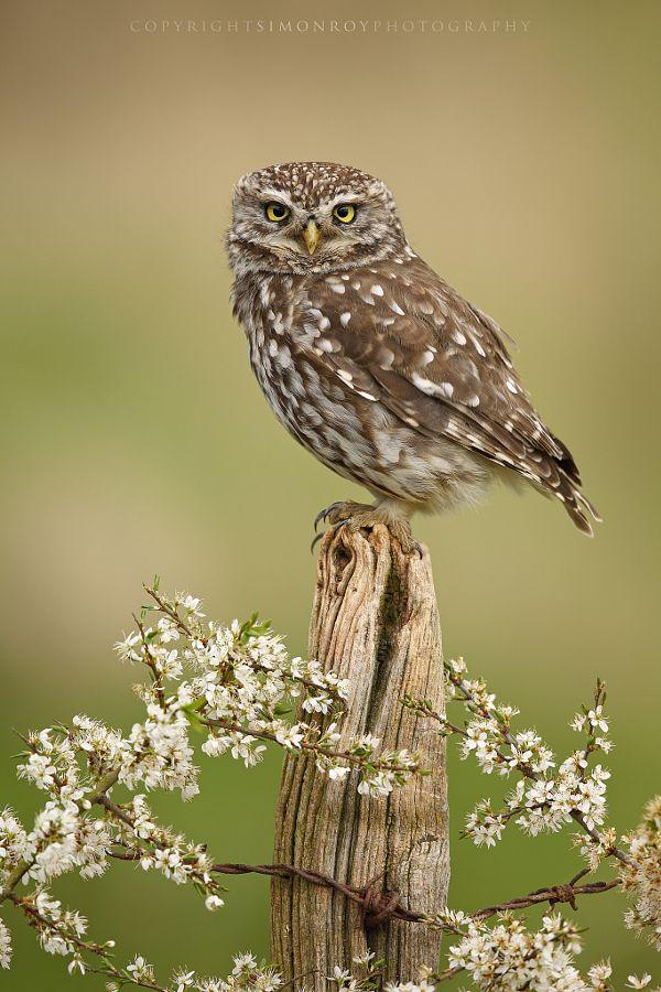 Little Owl by Simon Roy - Photo 150877791 - 500px