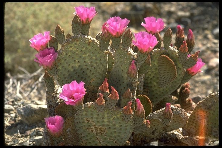 Opuntia | Opuntia basilaris ; Beavertail Cactus