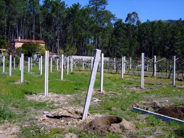 Hoyos practicados con perforadora mecánica, para plantar los patrones de Vitis riparia.