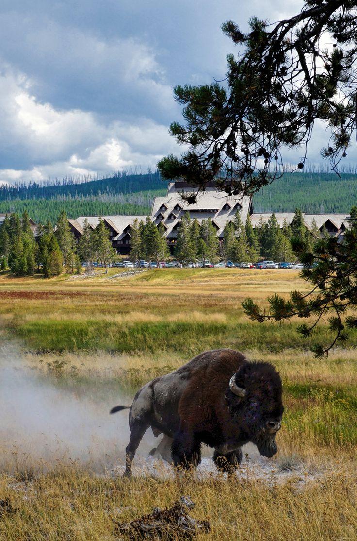 394 best bison buffalo images on pinterest american bison wild