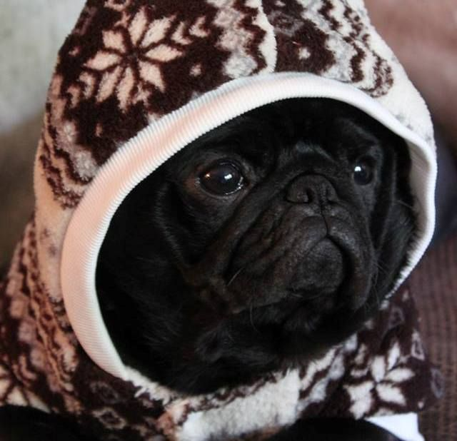 Baby Chicco Dog Frowning Pug In Hood Baby Pugs Black Pug Puppies Black Pug