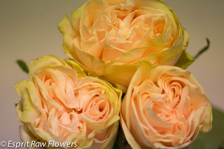 Wedding Spirit Garden Rose Peach Raw Garden Roses Pinterest Gardens Garden Roses And