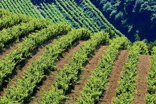 Vignes sur les pentes des Dentelles de Montmirail, Gigondas, France