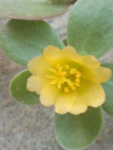 Flor de Verdolaga