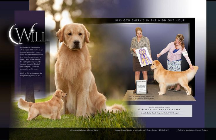 BISS GCH Emery's In the Midnight Hour Golden Retriever