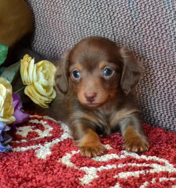 Mini Dachshund Puppies For Sale Black Tan,Doxie Breeder short Hair Pups