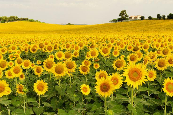 © Matteo Grilli. Sunflowers in the beautiful countryside around Recanati, Marche, Italy. July 2016.