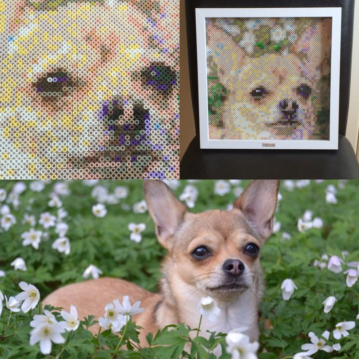 Perler bead project of a chihuahua called Maya.   I used photopearls to create the portrait. The size is 30x30 cm, using 3600 nabbi beads.