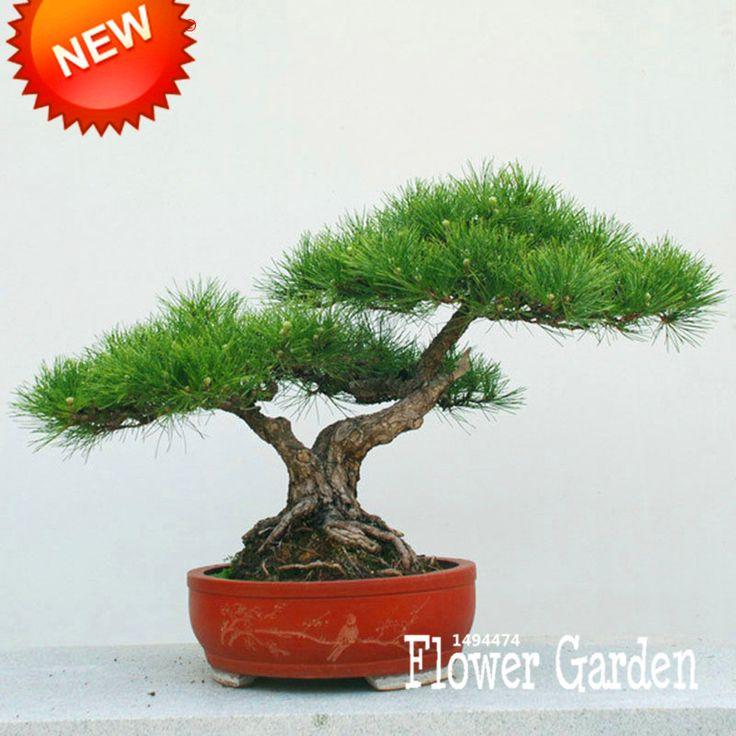 Sale!Japanese Ornamental Potted Pine Seeds Osaka Bonsai Pine Tree Seeds 100 Seeds / Pack,#LCO4AP
