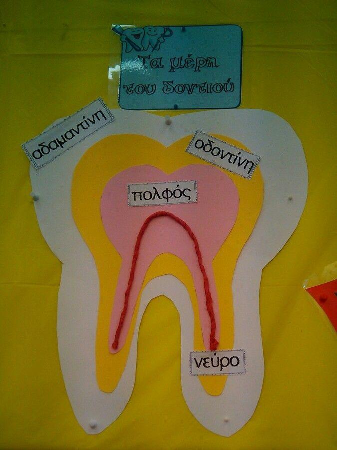 Τα μέρη του δοντιού