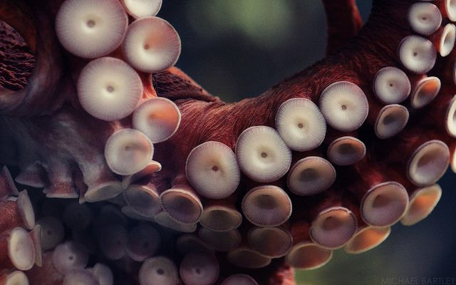 Giant Pacific Octopus 2 by itshotinhere_imonfire on Flickr.
