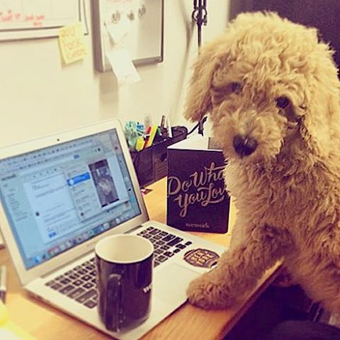 Mondays mean it's time to hustle at WeWork Congress. From @huddersthedoodle #dogsofWeWork
