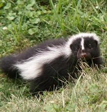 Striped Skunk - Mephitis mephitis  Skunks are known to everyone by sight, smell, and reputation. They are found in every county of Ohio as well as throughout the United States. Pioneers found the striped skunk when they came to Ohio, although skunk numbers are far greater now. #wildohio #ohiomammals