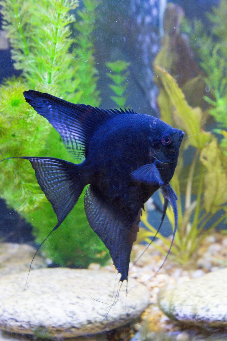 Black Standard Angelfish photography by Darrell Gulin