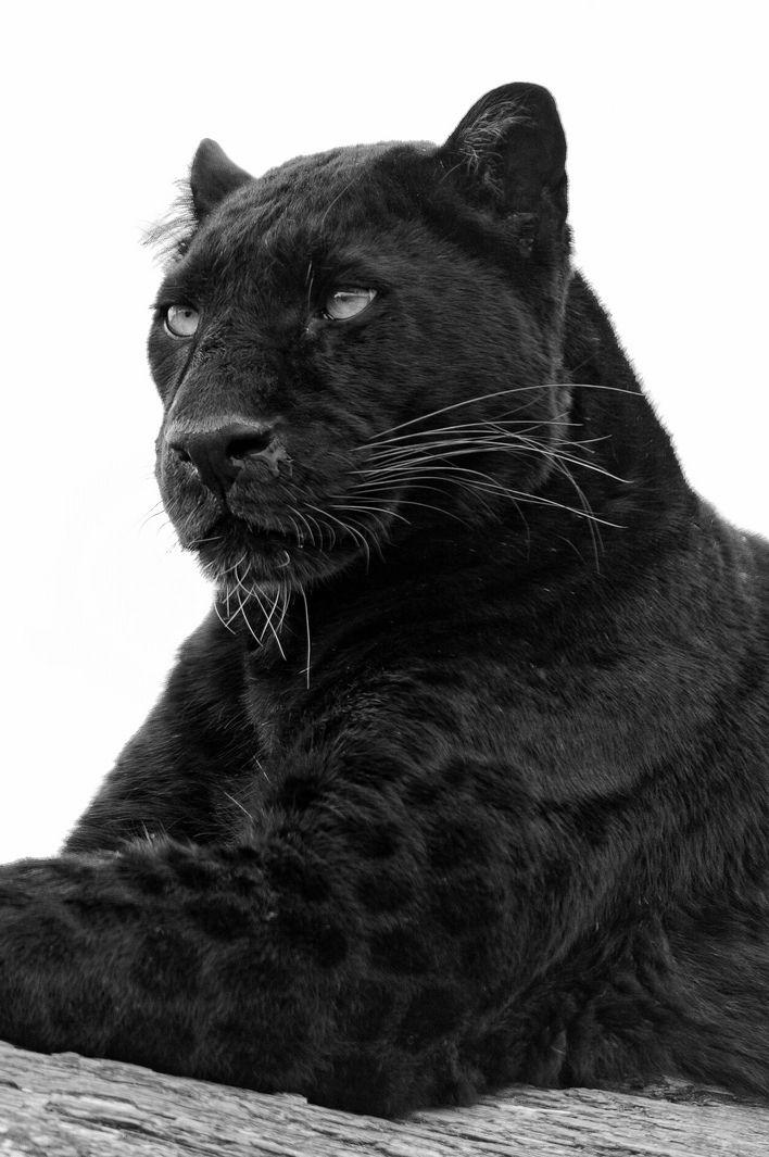 Gorgeous Black panther