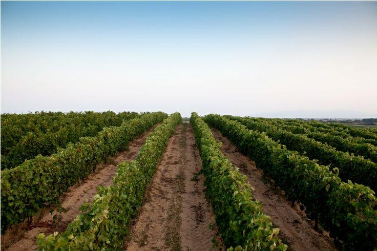 Vineyards @ Avdira