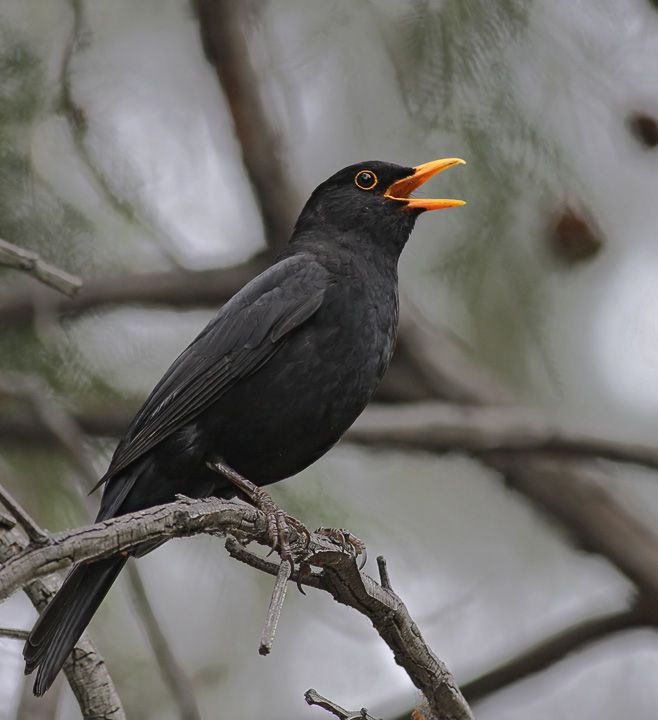 blackbirds | Next-Door Nature